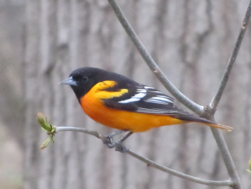 Orig on Yellow Cardinal Bird Where In Usa