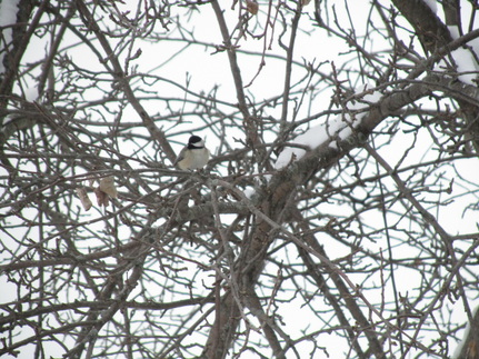 Black Capped Chickadee Midwest Bird Watching